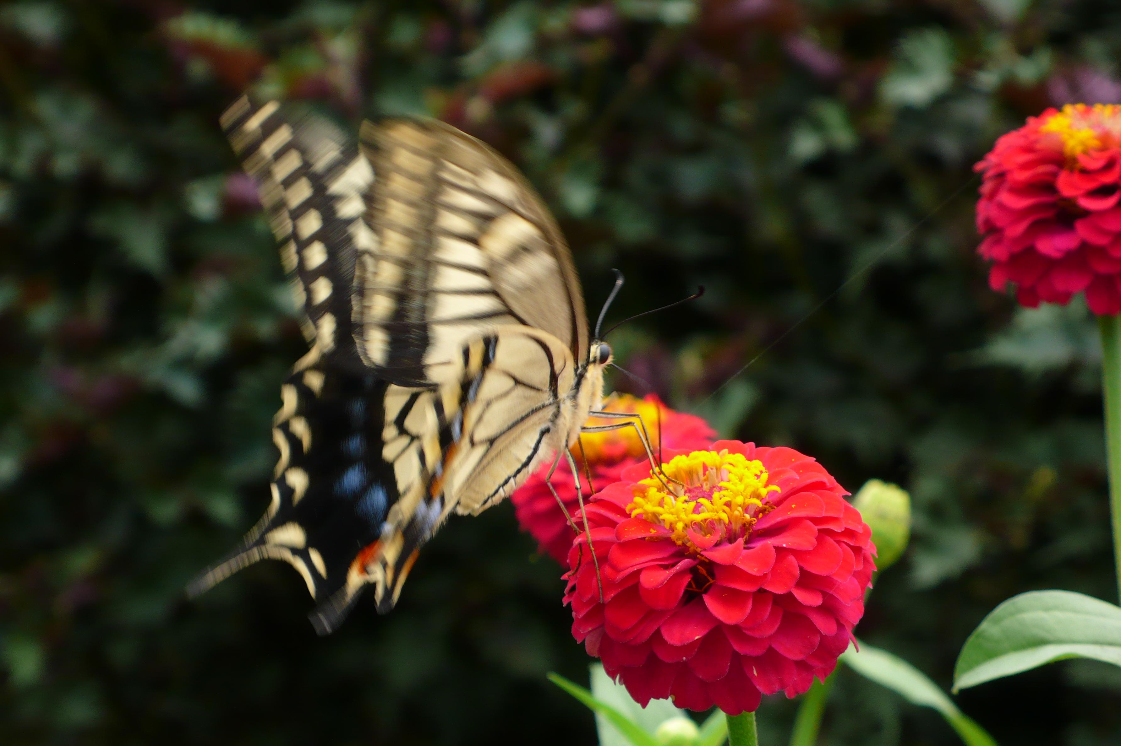 アゲハ蝶がよく舞い降ります