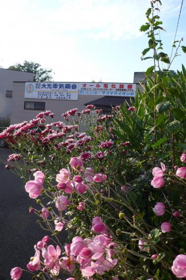秋も近づき会社の花も少しづづ咲き始めました。