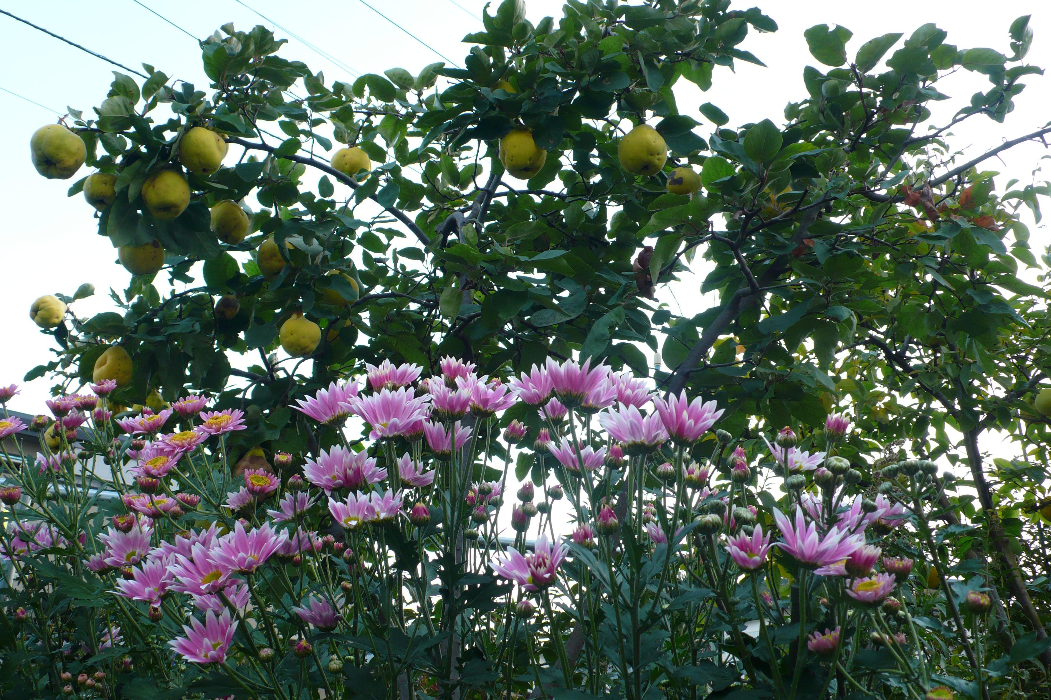 会社の庭にも咲いています。