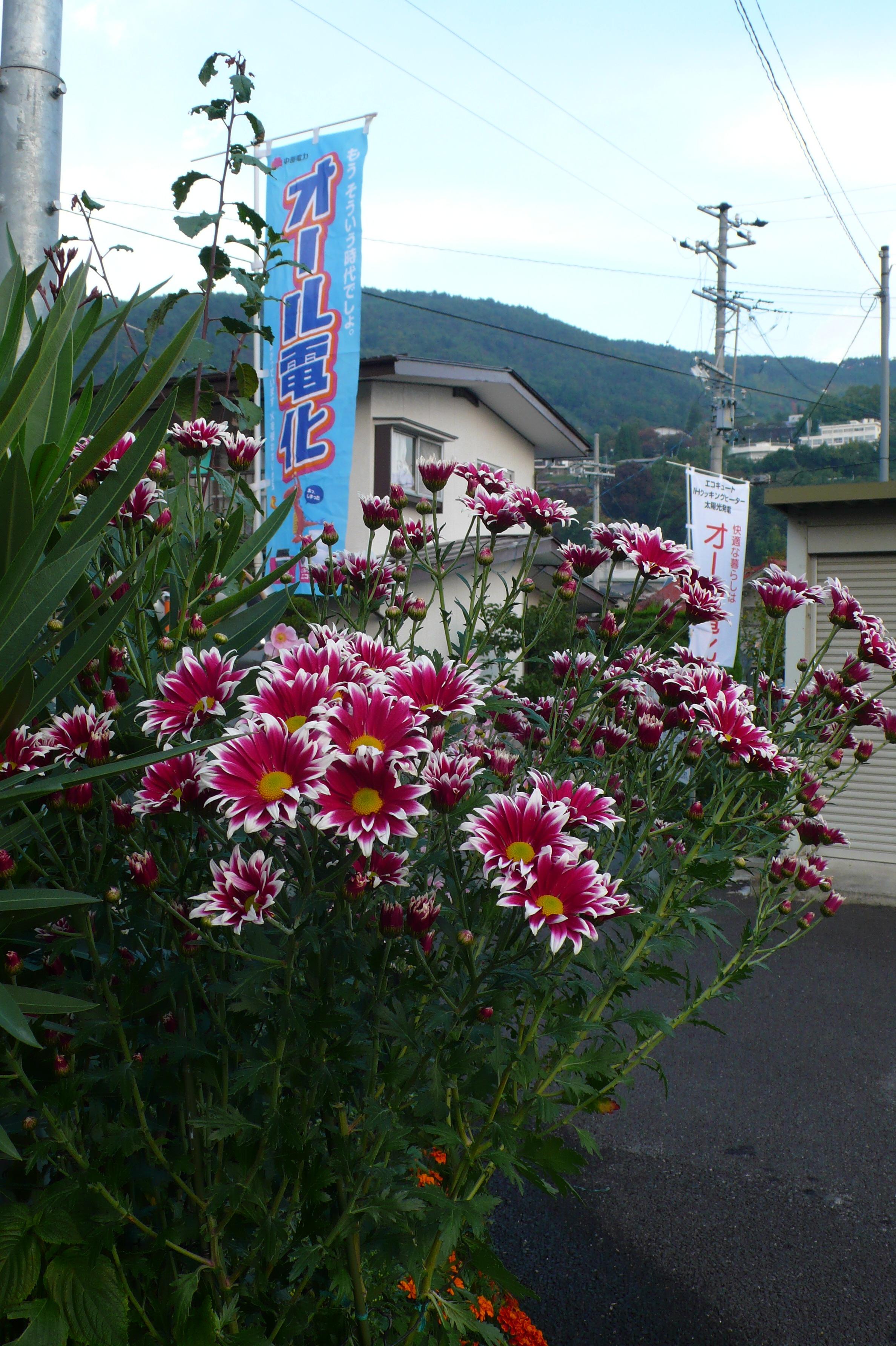 菊の花が きれいに咲きました。