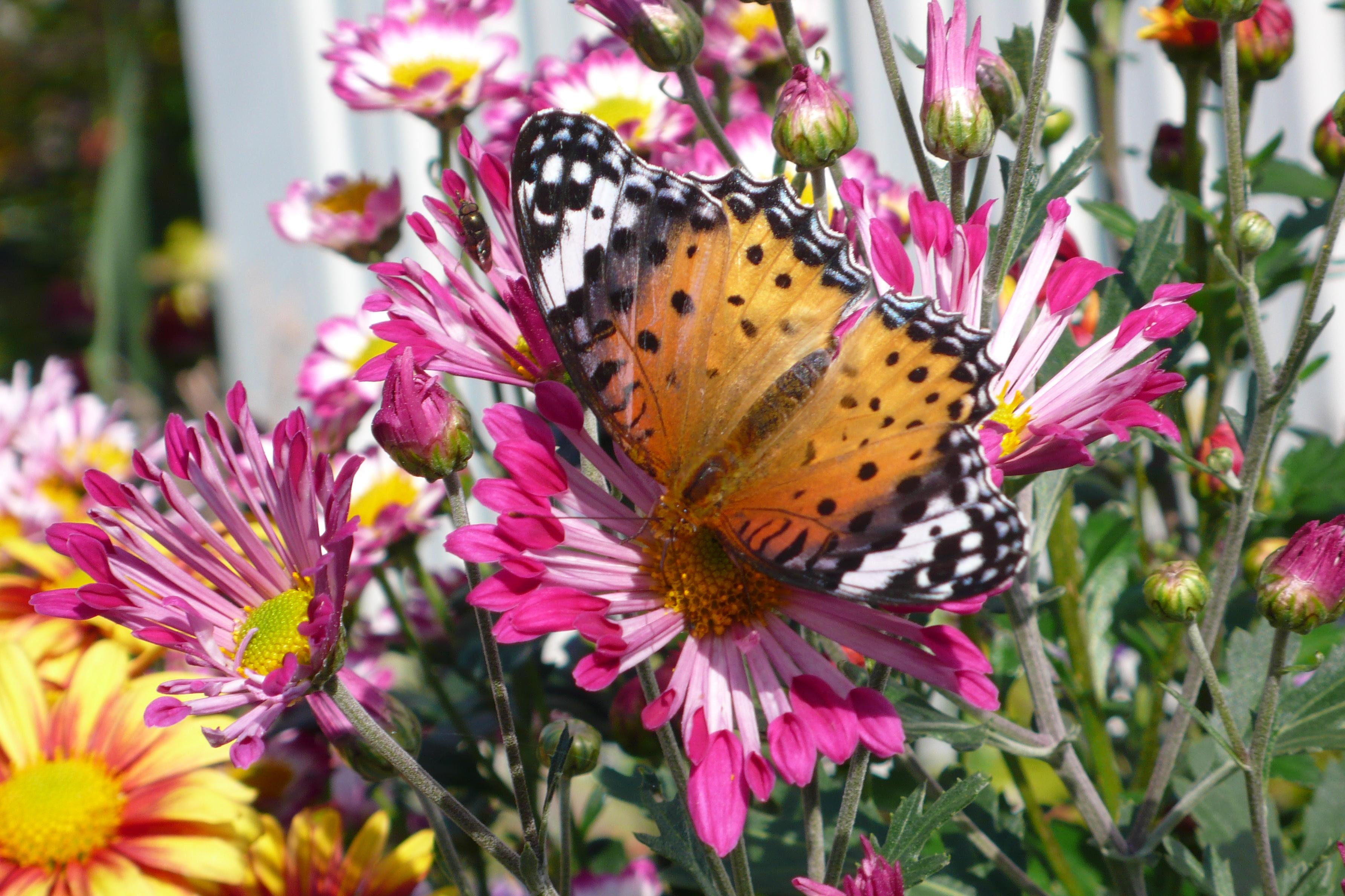 いろいろな花の蜜を吸っています。