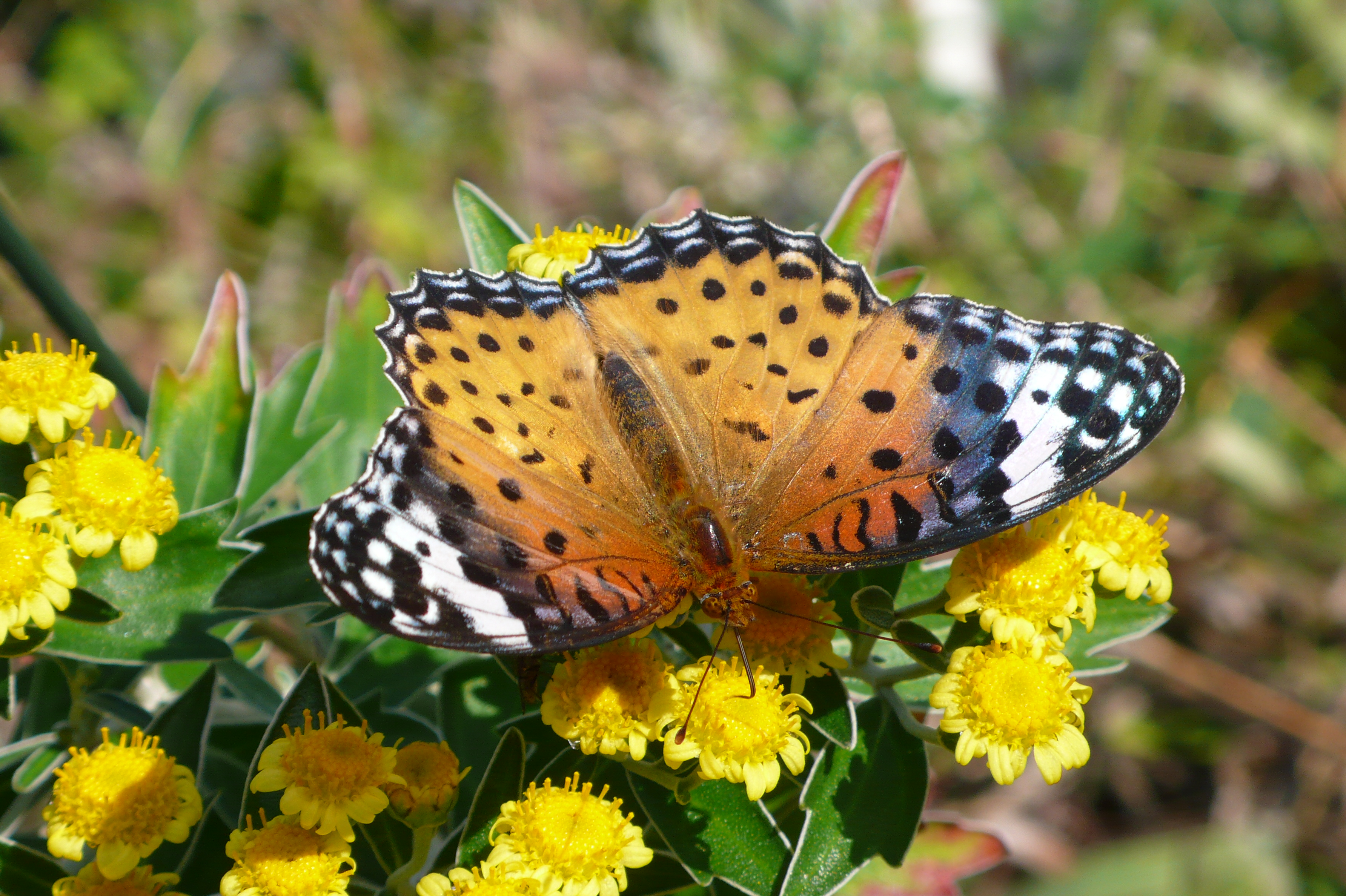 今、たくさんの菊の花が咲いています弊社のお花畑に  天気のいい、日中にツマグロヒョウモンがやってきて  雄と雌が仲良く花の蜜を吸っていました。