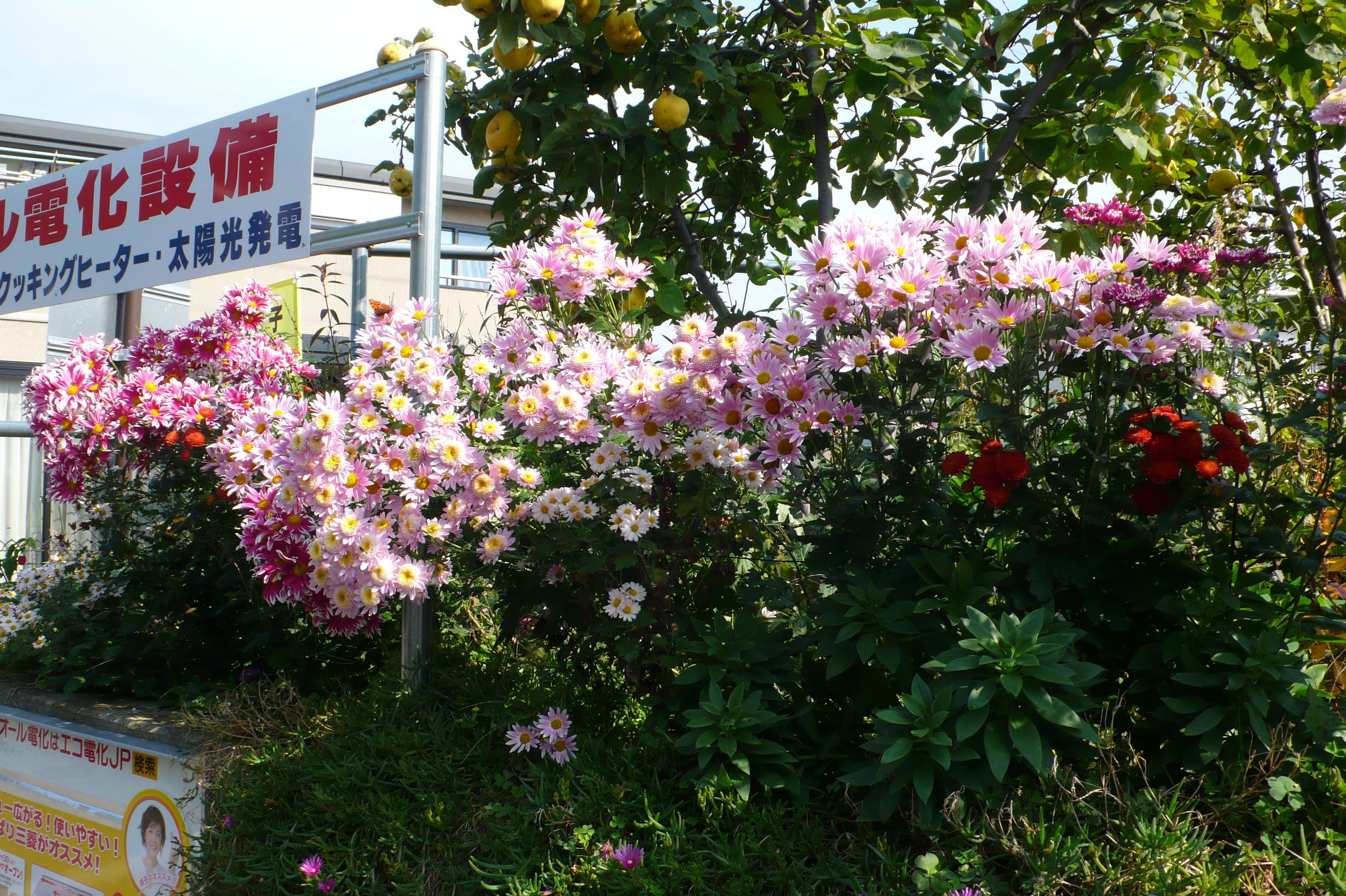 菊の花がいっぱい咲いています。
