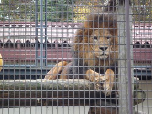 茶臼山動物園のライオンです