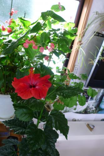 ハイビスカスの花は温度が20度ちょっとあれば咲きます