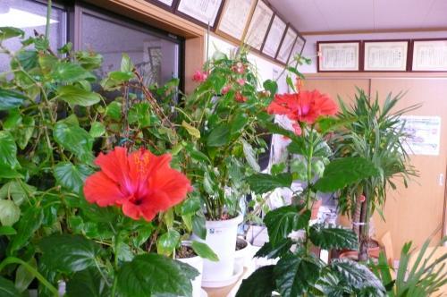 寒い長野でも毎年部屋の中で咲かせています