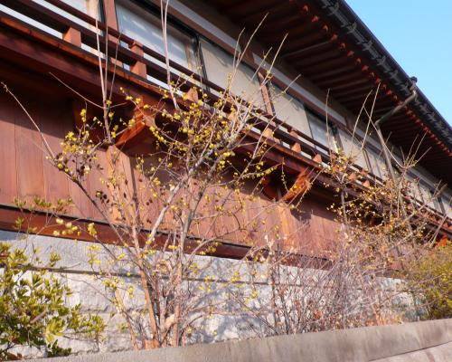 蝋梅(ロウバイ)の花が満開に咲いています