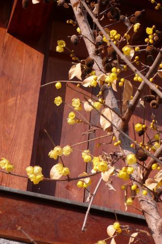 1月から2月にかけて花を付ける  落葉広葉低木だそうです
