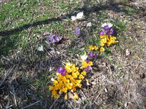 本堂の庭にサフランの花がきれいに咲いています