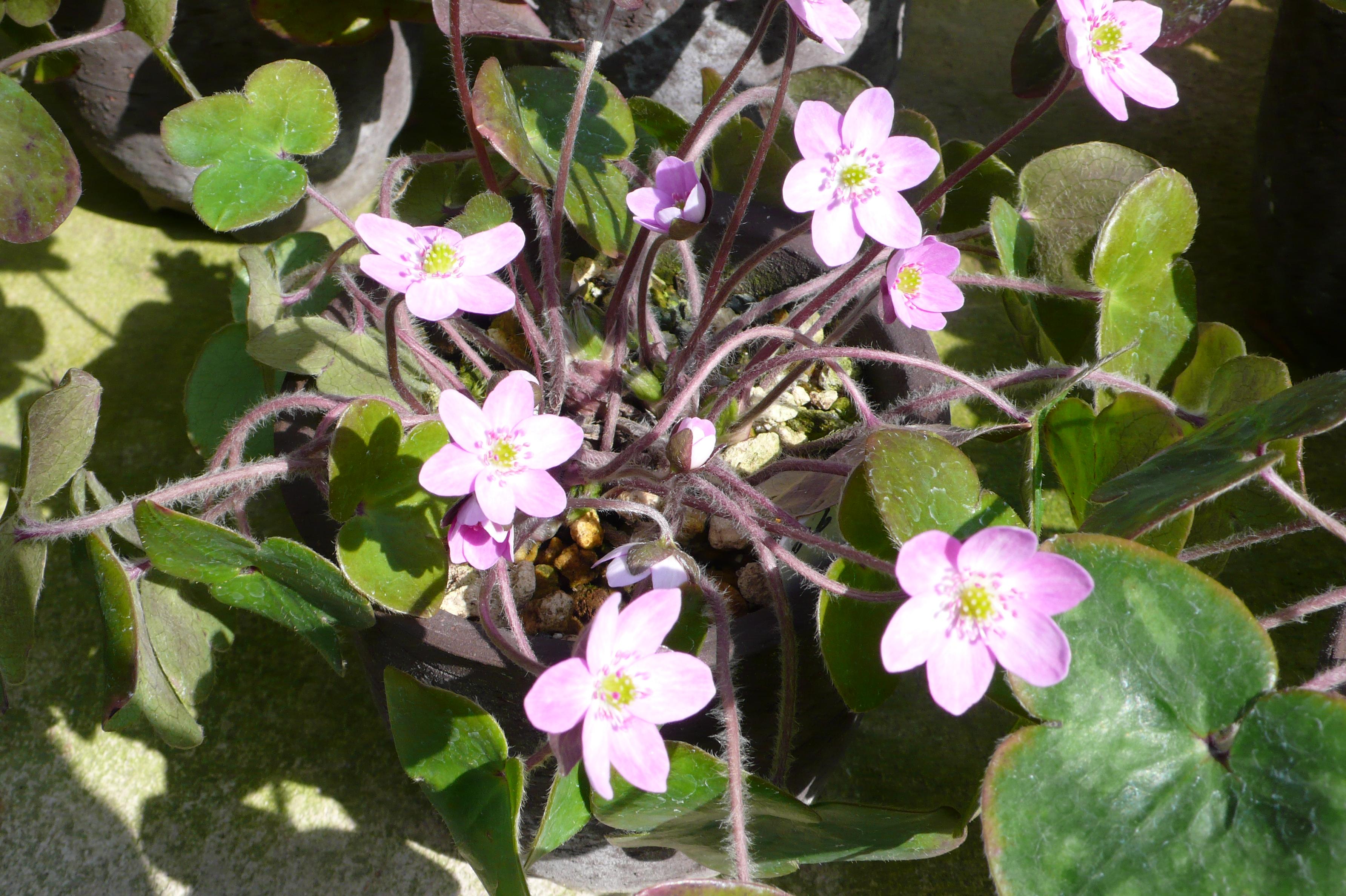 ミスミ草の花