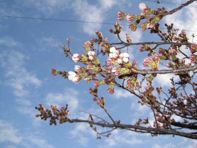 長野市善光寺近くの城山公園もようやく桜の花が  今朝から咲き始めました!