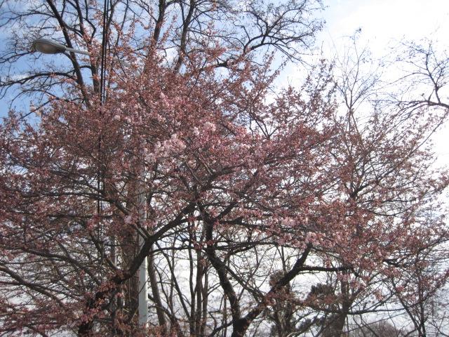 長野市城山動物園の近くの桜の花も咲き始めました