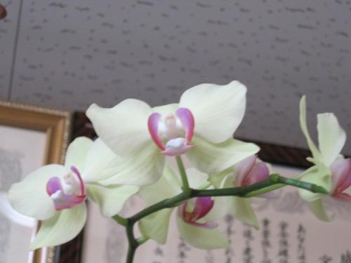 コチョウランの花が咲きました