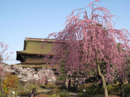 しだれ桜と善光寺さん