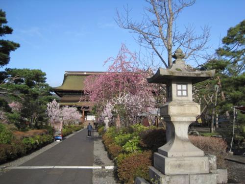 善光寺さんの境内は桜の花など  色々な花は咲いています