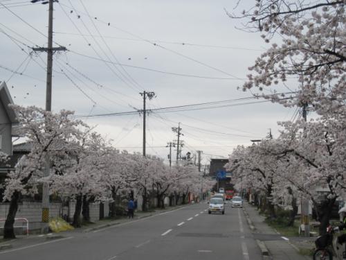 善光寺北参道の桜の花も見事です