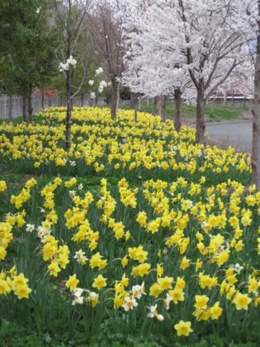 城山公園のふれあい広場も  スイセンの花が満開にさいていました