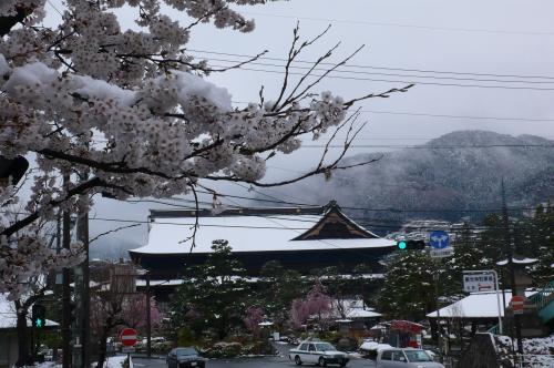 桜の花も雪で寒そうです