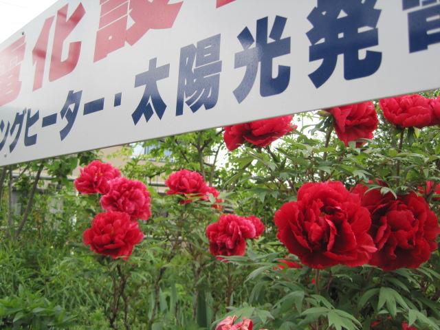 赤い牡丹の花が今年もきれいに咲きました