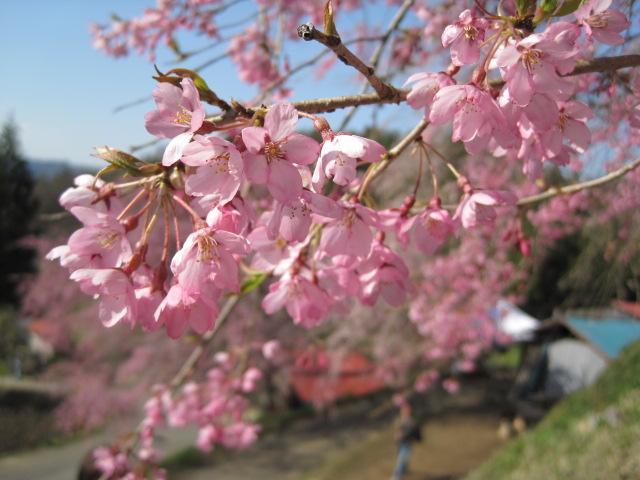 番所の桜です