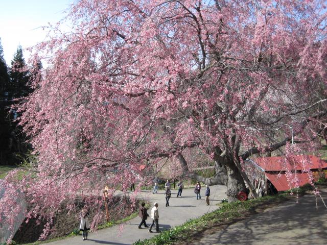 見事な桜です