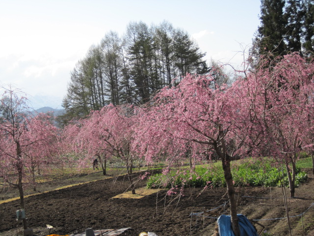 あたり一面に桜の花が咲いてきれいです