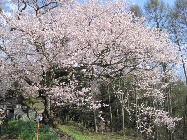 小川村の樹齢300年の(立屋の桜)は今が見ごろです