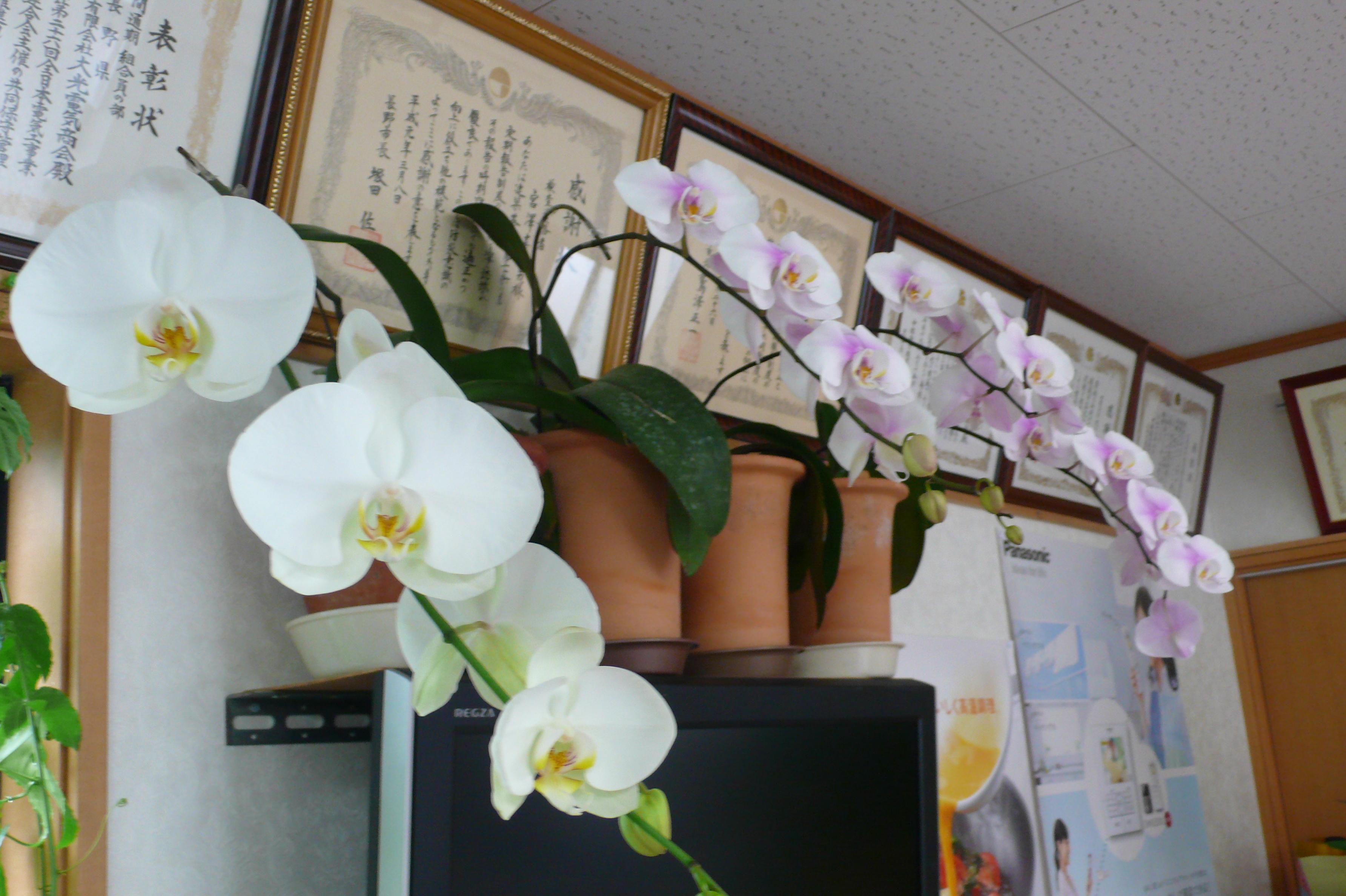 今年も胡蝶蘭が咲きました