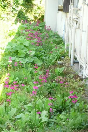民家の裏に野生のクリン草が自生しています