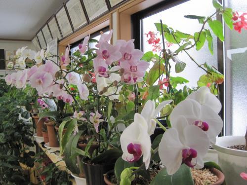 胡蝶蘭の花です