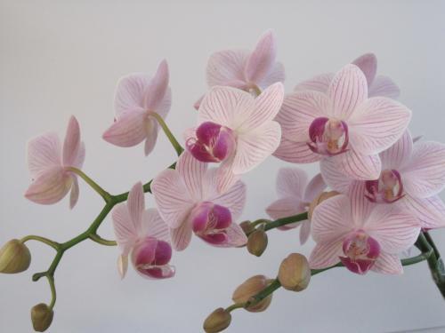 この胡蝶蘭もきれいです!