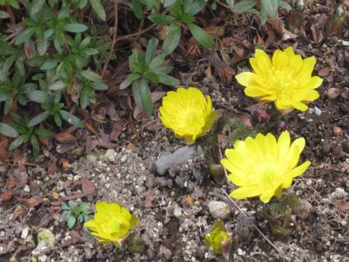 やっぱり福寿草の色には春の輝きがあります
