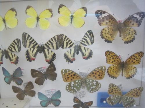 蝶の標本です