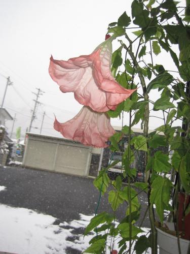 外は朝から雪が舞っています   エンゼルトランペットの  やさしい香水のような香りをはなっています