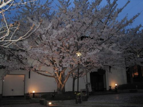 夜桜は今が見ごろです