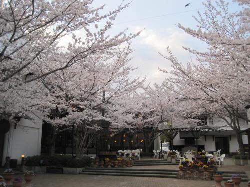 今桜が見ごろで満開です!