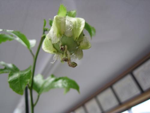 先日咲いたパッションフルーツの花を受粉しましたら   果実になり始めました
