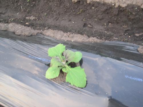 苗を植えてから2週間ですが順調に育っています