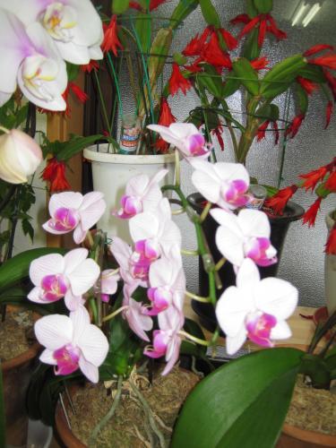 この胡蝶蘭もきれいです