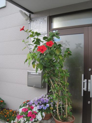 鉢植えのハイビスカスの花です