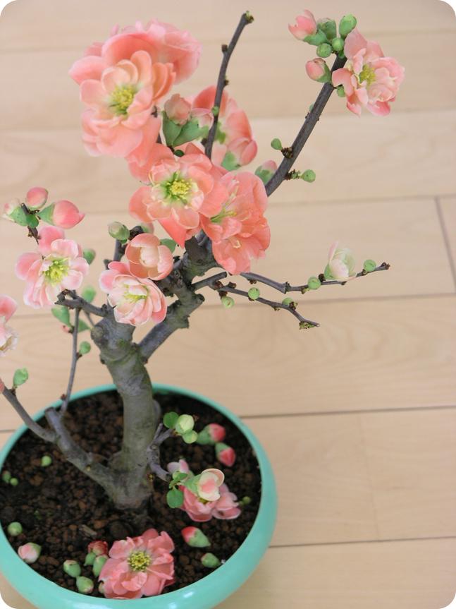 木瓜の花01