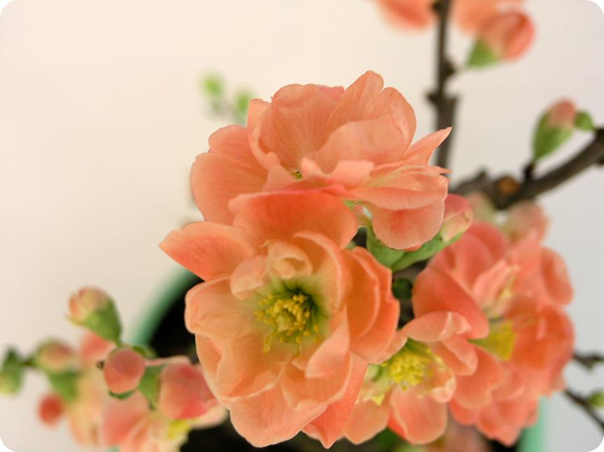 木瓜の花02