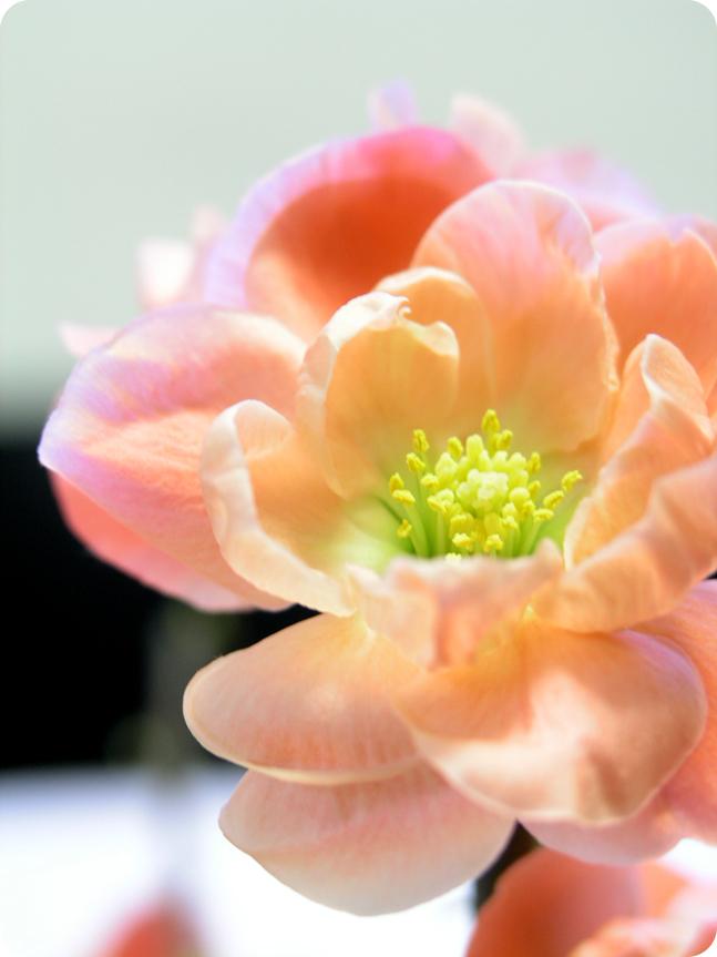 木瓜の花03