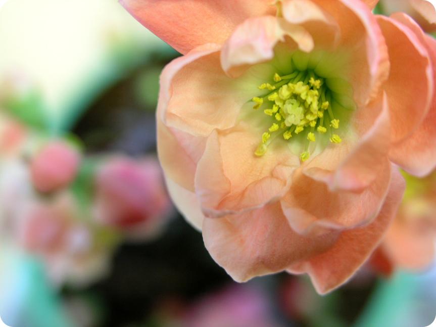 木瓜の花04