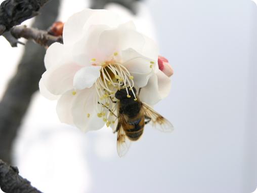 梅の鉢植え01