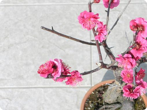 梅の鉢植え03