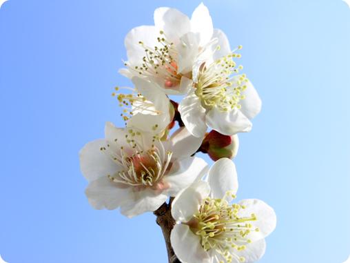 梅の鉢植え04