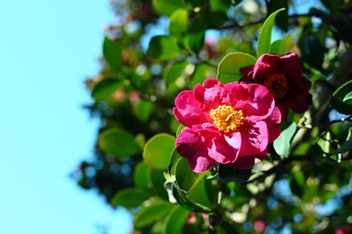 2011年偕楽園の梅便り1-07