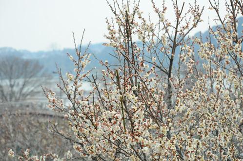 2011年2月17日偕楽園レポート10