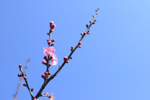 2011年2月24日偕楽園の梅だより01